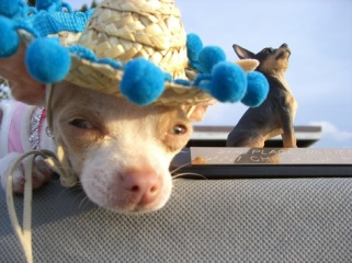 wobbles-chihuahua-races-palm-beach.jpg