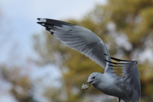 gull-with-mouth-full-resized