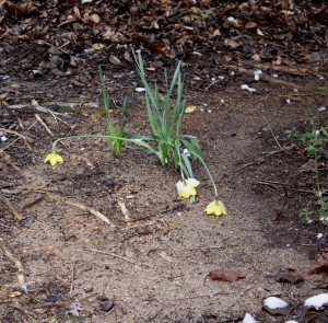 daffodils11