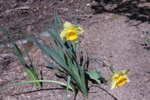 daffodils21