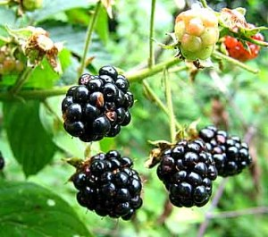 These are Blackberries