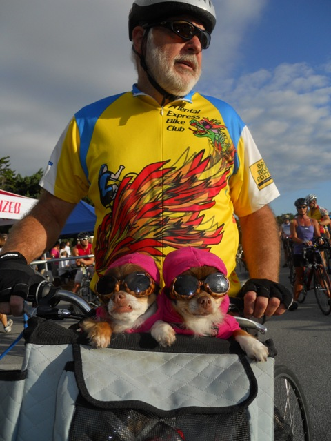 Bike riding chihuahua